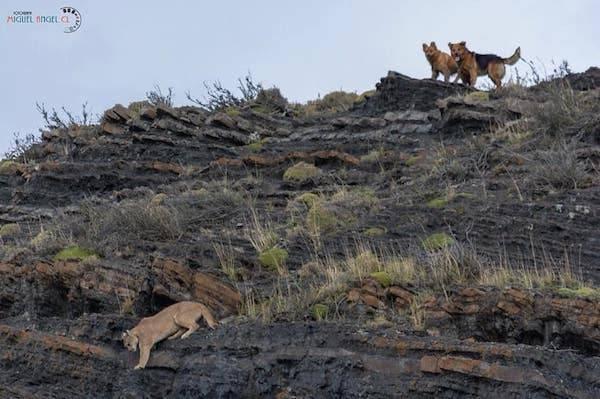 CONAF junto a Colegio Médico Veterinario impulsa tenencia responsable para disminuir ataques a fauna nativa